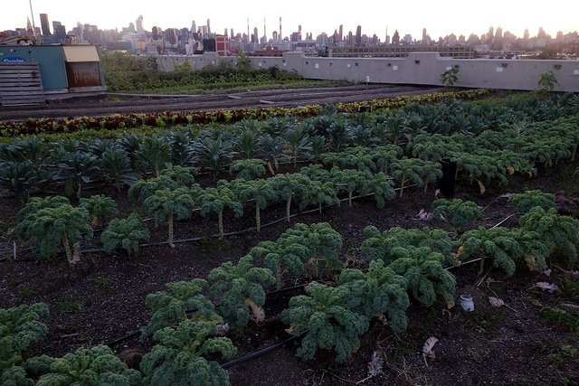 Brooklyn Grange Rooftop Farm's