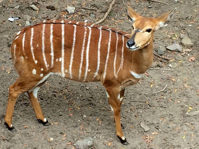 Ciervo en el Zoo de El Bronx