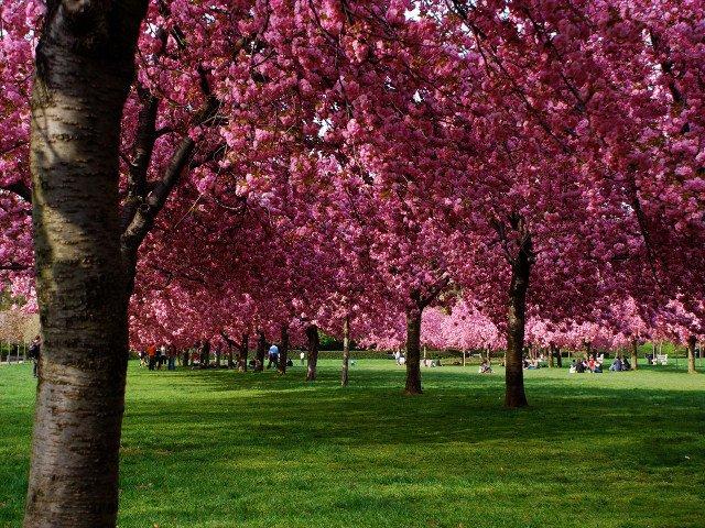 Algo que hacer en Nueva York en primavera es visitar el Brooklyn Botanical Garden con los cerezos.