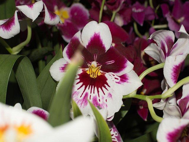 Esta semana en Nueva York puedes ver las orquídeas de los jardines botánicos